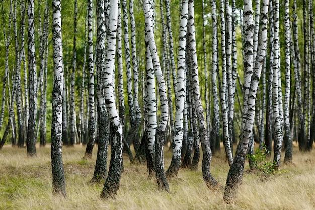 Witte berkbomen in het bos in de zomer