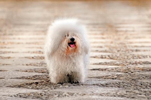 Witte bichon bolognese hond