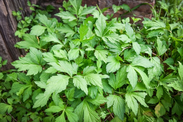 Witte bijvoetbladeren groen voor natuur van het kruid de plantaardige voedsel in de tuin