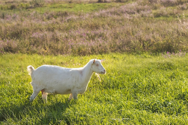Witte binnenlandse geit op veld op boerderij