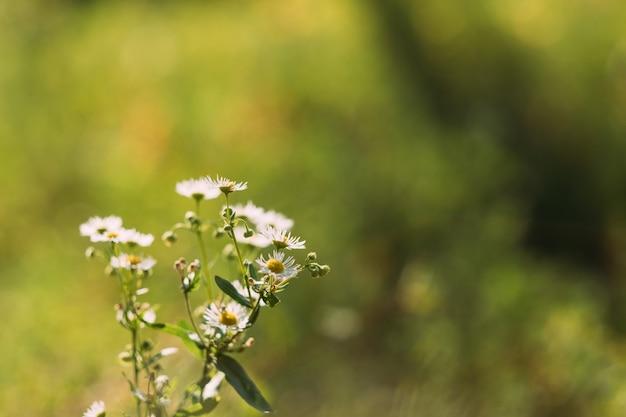 Witte bloeiende kamille bloemen over groen gras wazig.