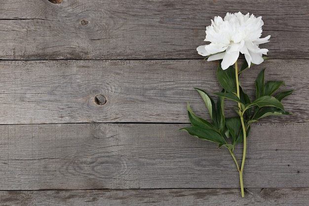 Witte bloeiende pioenroos bloem op de achtergrond van de oude planken met textuur