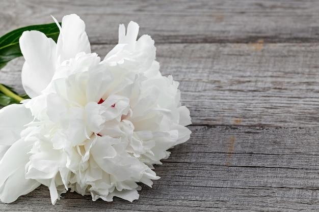 Witte bloeiende pioenroos op de achtergrond van de oude planken met textuur. de plant is macro gefotografeerd.