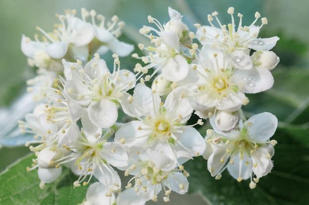 Witte bloeiwijzen van lijsterbes sorbus intermedia close-up. witte bloemen op een wazige groene achtergrond voor een lentethema.