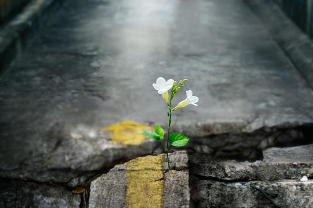 Witte bloem groeit op spleet straat, soft focus, lege tekst