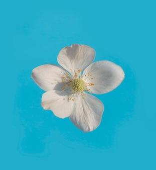 Witte bloem op een blauwe achtergrond