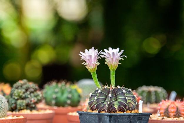 Witte bloem van cactus.