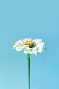 Witte bloem zinnia op blauwe ondergrond