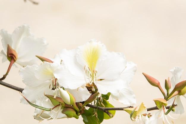 Witte bloemazalea's op een enkele tak met ongeopende knoppen