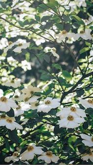 Witte bloemen bloeien op een boom mobiel schermbehang