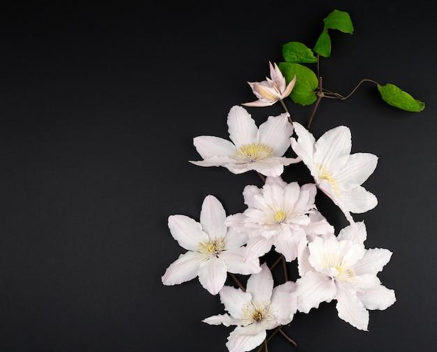 Witte bloemen en groene bladeren van clematissen op een zwarte achtergrond