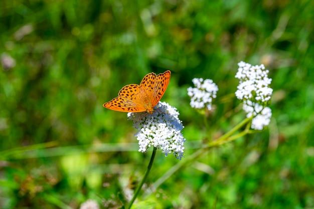 Witte bloemen en oranje monarch (melkweed) vlinder