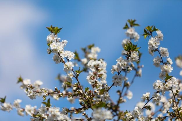 Witte bloemen op de takken.