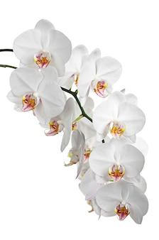 Witte bloemen orchideeën geïsoleerd op een witte achtergrond