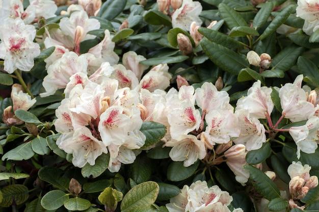 Witte bloemen rhododendron azalea bloemen