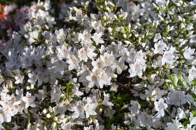 Witte bloemen van azalea