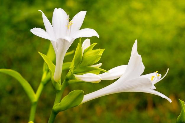 Witte bloemen van de hosta op een groene onscherpe achtergrond op het bloembed in de tuin