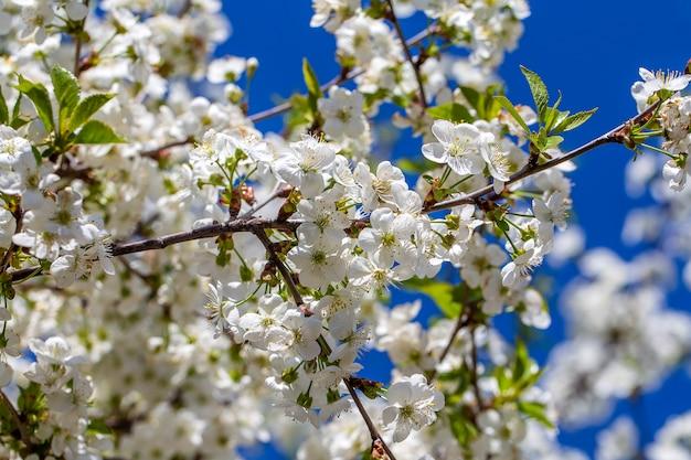 Witte bloemen van de kersenbloesem op een lentedag over blauwe hemel