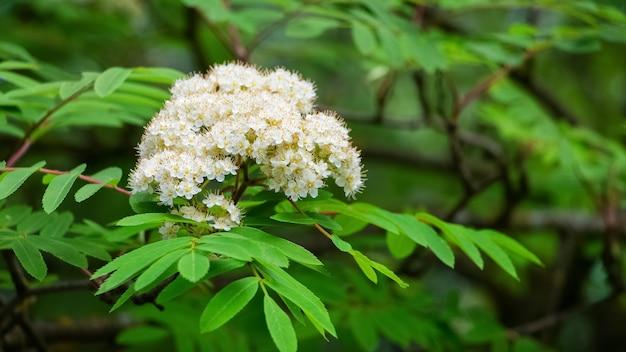 Witte bloemen van lijsterbes op een boom onder groene bladeren