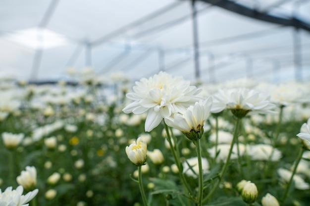 Witte bloemenchrysant in de tuin te koop en te bezichtigen.