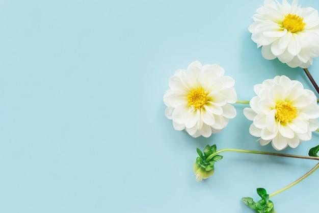 Witte bloemendahlia's op blauwe achtergrond. bloemen samenstelling. plat lag, bovenaanzicht, kopieer ruimte. zomer, herfstconcept.