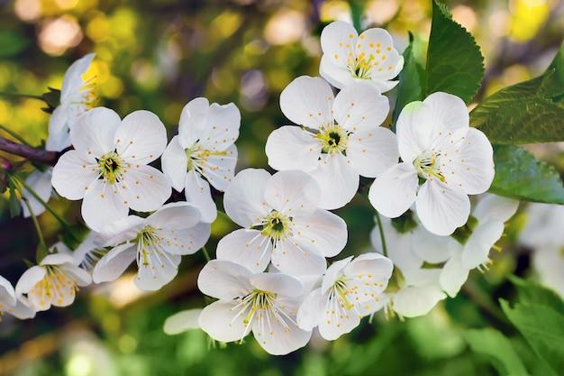 Witte bloemenkers. bloei van bomen in het voorjaar