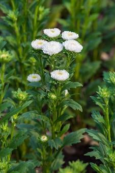 Witte bloesem chrysanthemum