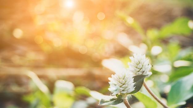 Witte bol amarantbloem (vrijgezelknoop of bolbloem) op de tuin en onduidelijk beeldachtergrond.