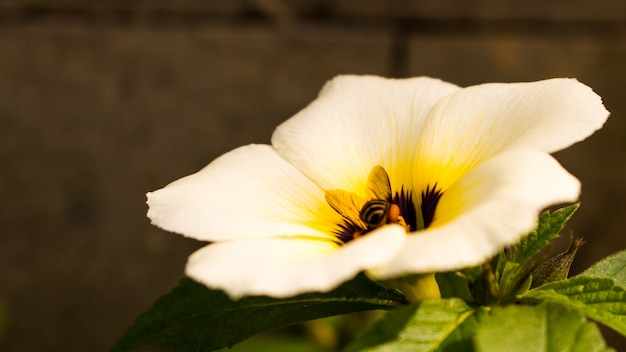 Witte boterbloemenbloem en bij