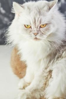 Witte britse kat met gele ogen op grijs
