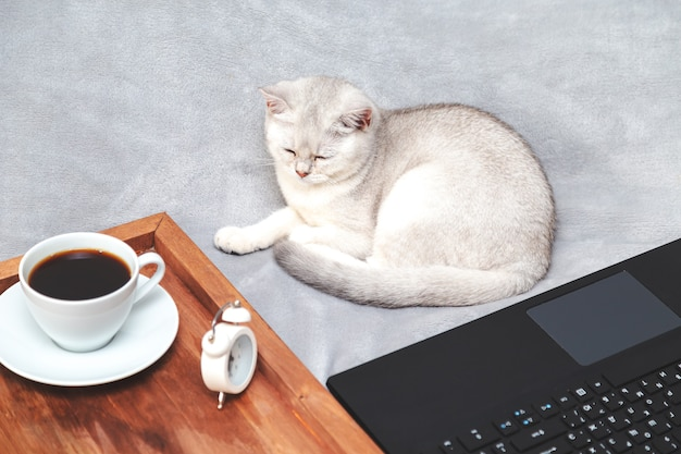 Witte britse kat met laptop, kopje koffie en wekker. concept voor online leren, thuiswerken, zelfisolatie. humor.