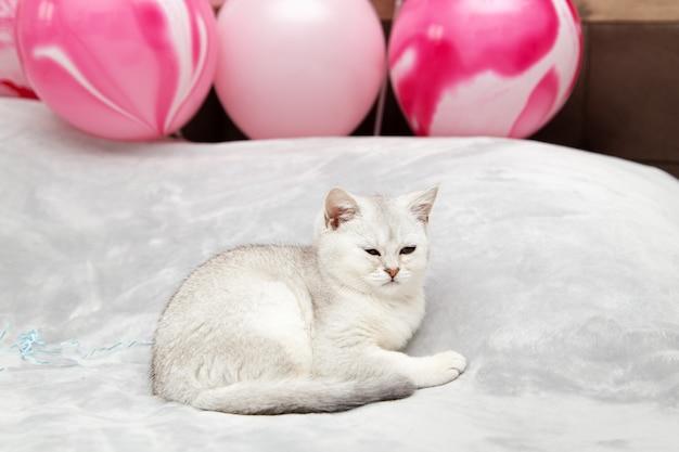 Witte britse kitten op het bed. feestelijke ballonnen. vakantie en verjaardag concept.