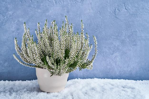 Witte calluna vulgaris of gemeenschappelijke heidebloemen in bloempot op blauw.