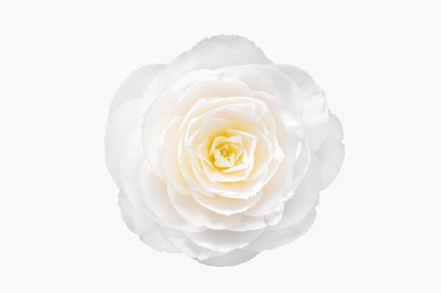 Witte cameliabloem die op witte achtergrond wordt geïsoleerd. camellia japonica