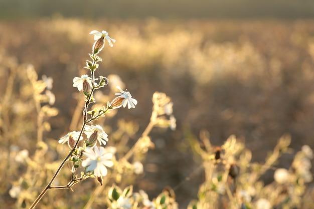 Witte campion (silene latifolia) bij dageraad