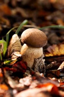 Witte champignons in het bos, op een achtergrond van bladeren, fel zonlicht. boletus. paddestoel.