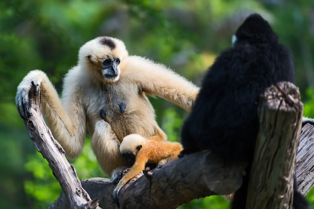 Witte cheeked gibbon of lar gibbon.