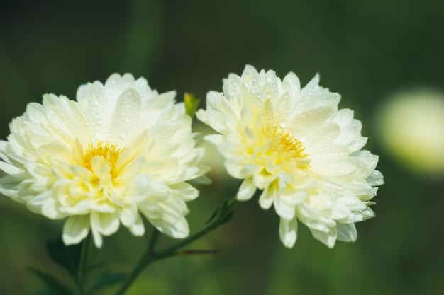 Witte chrysant bloemen met geel stuifmeel en ochtendzon in organische tuin.