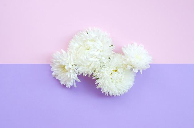 Witte chrysanten bloemen op pastel roze en lila bovenaanzicht als achtergrond