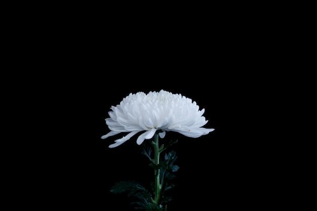 Witte chrysantenbloem die op zwarte achtergrond wordt geïsoleerd