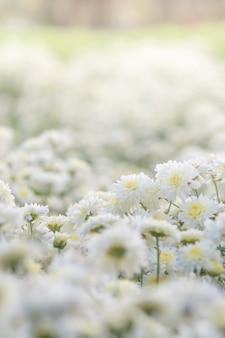 Witte chrysantenbloemen, chrysant in de tuin. onscherpe bloem voor achtergrond, kleurrijke planten