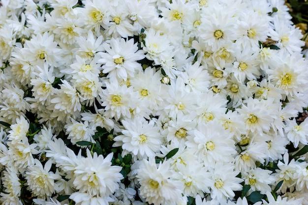 Witte chrysantenbloemen.