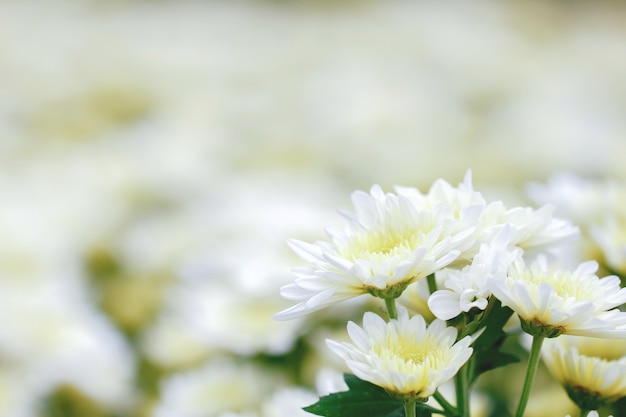 Witte chrysanthemum