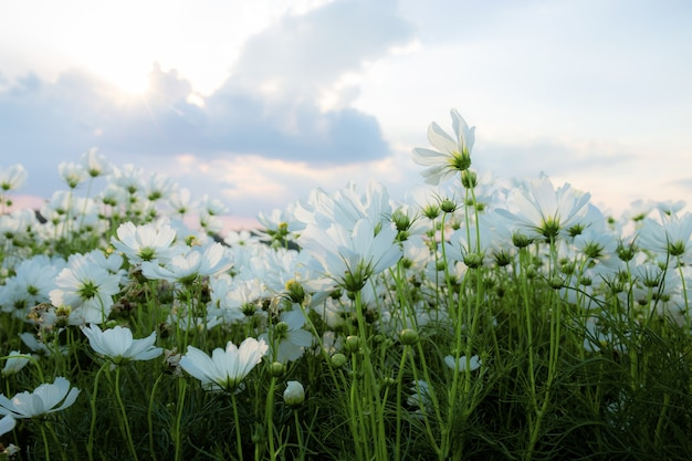Witte cocmos op veld met de lucht in de winter.