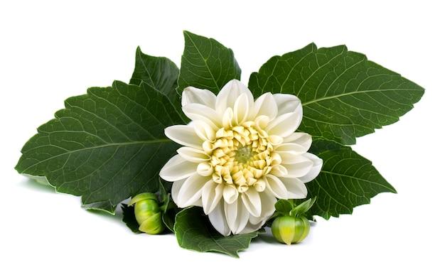 Witte dahliabloem met groene bladeren die op wit worden geïsoleerd