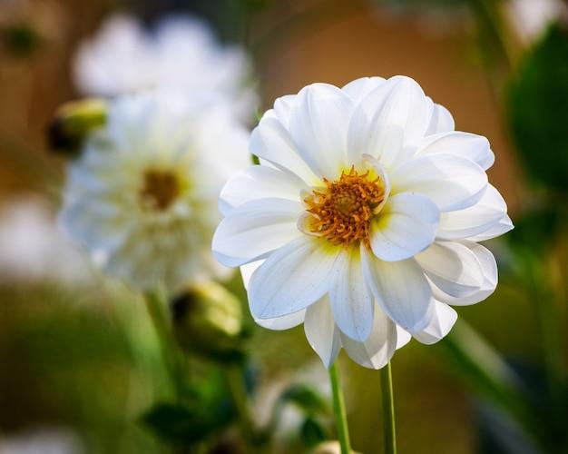 Witte dahliabloem tegen de achtergrond van het tuinbloembed. herfst bloemen
