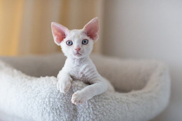 Witte devon rex kitten ligt in bed