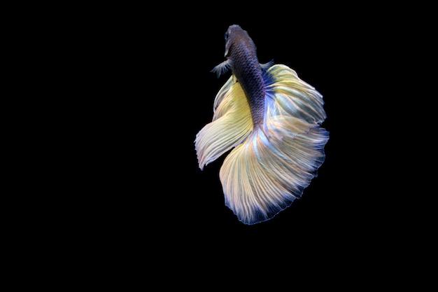 Witte die betta fish op zwarte wordt geïsoleerd