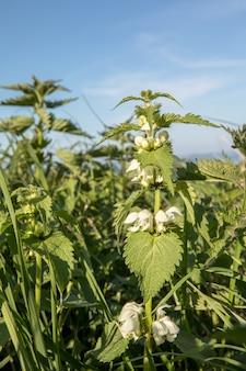 Witte dovenetel - lamium-album in een veld. blauwe lucht boven