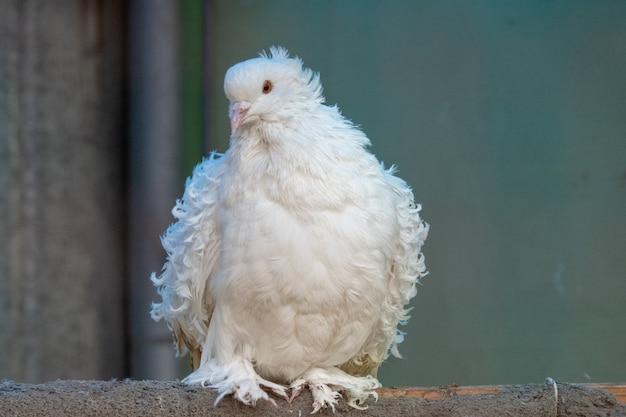 Witte duif met krullende veren